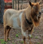 goats june2014 006